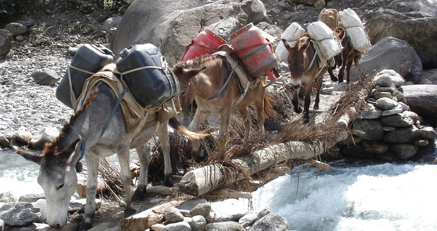 The mule train in the khumbhu region